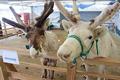 白馬トナカイ牧場では、トナカイ馬車に乗ったり、トナカイと一緒に散歩したり、エサをあげたりと、いろんな体験ができます。
